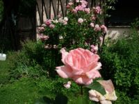 My roses are blooming