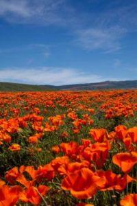 Antelope Valley Poppy Fields (California)