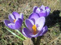 Springtime Beauties