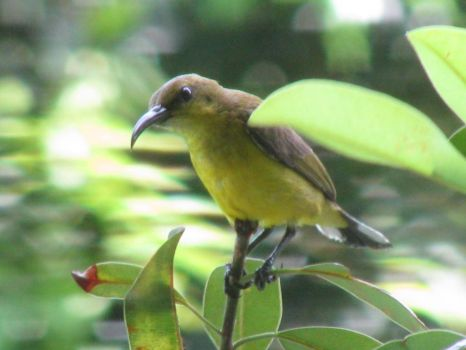 My morning greeter - the Olive-backed Sunbird