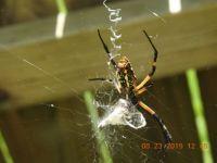 Sewing Machine Spider