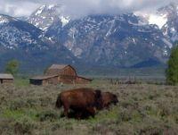 Bison at Grand Teton
