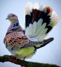 The European turtle dove (Streptopelia turtur)