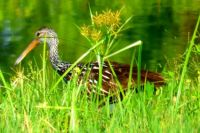 Pretty Limpkin at Celery Fields