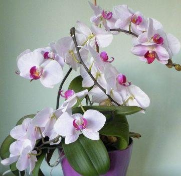 orchidejka