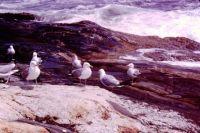 Gulls - Rocks - Waves