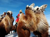 Camels...Mongolian Winter