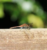 Young red dragon fly.