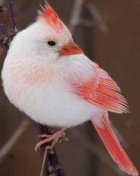 Rare White Cardinal