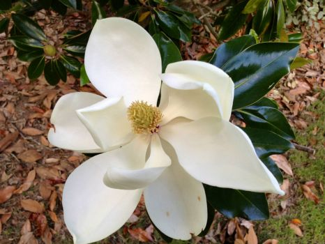 Magnolia_Bloom