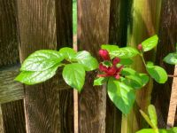Calycanthus bush in the sun after a storm