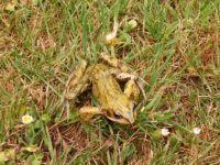 Frog in our garden