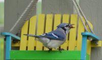 A real Swingin' Blue Jay