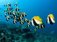 Bannerfish, Maldives, Indian Ocean
