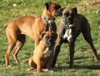 My Boxer Gang
