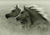 2 Arabian horses