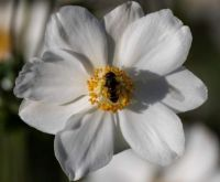 White Japanese Anemone With Visitor