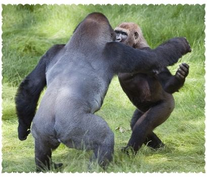 Write a Caption!  gorillas