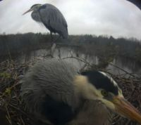 Both herons on nest
