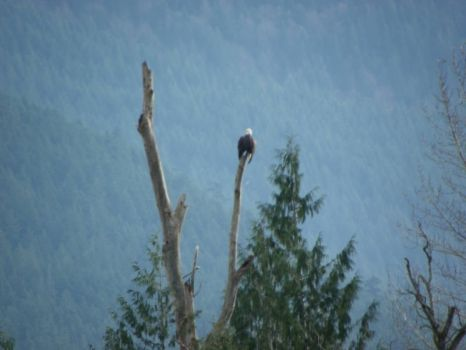 Eagle watching 2