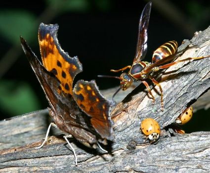 Comma Butterfly, Paper Wasp & Ladybugs - Illinois