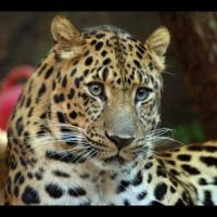 Wild for Wildlife - Amur Leopard - youth