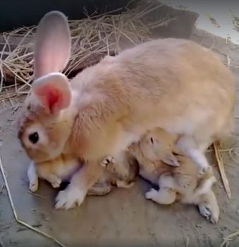 Mom rabbit and her babies