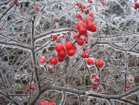 Berries in an Ice Storm
