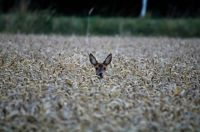 Young Roe Deer in Germany