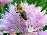 Honeybee on Allium Flower