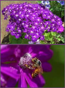 Purple Cineraria and the bee...