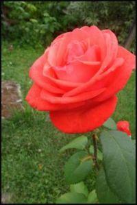 Nepřehlédnutelná růže...  An unmissable rose ...