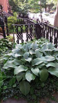 Hosta Lily plant