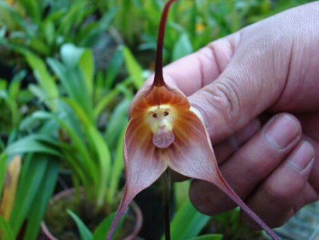 Monkey Orchid of Ecuador & Peru forests.