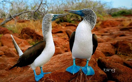 Blue Footed Bird