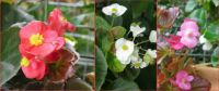 Begonias flowering.
