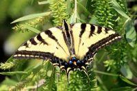 Swallowtail Butterfly, Lagoon Trail, Del Mar, California