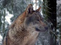4  ~  'Grey Wolf'