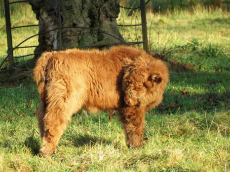 Baby Highland Cow