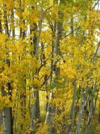 Sunlight filtering through aspens, Grand Teton National Park, Sept. 2012