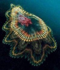 """Medusa """"Spanish Dancer"""" from the Indian Ocean."""