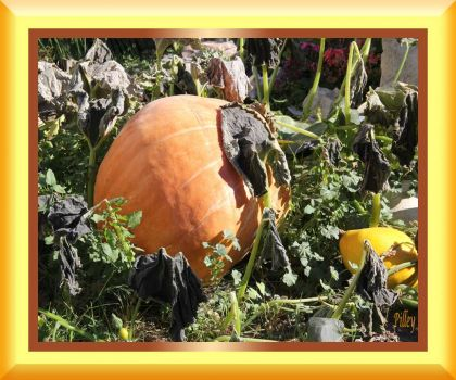 Effects of frost on the pumpkin