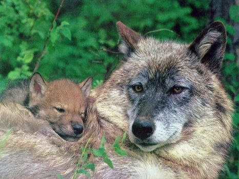 2  ~  'Gray Wolf lounch time.'  ~  Happy Mothersday!  :-)