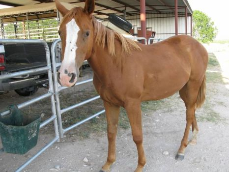 """A bee got in my bucket and stung me on my nose""  This is Angel another foster available for adoption through Bluebonnet Equine"