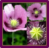 Pink Poppy Collage