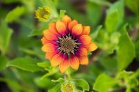 Solar #1 sunflower