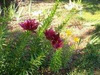 100_0560 oriental lillies 6-8-17