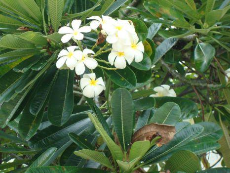 White Plumera, Hawaii