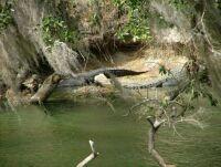Blue Springs State Park FL Aligators