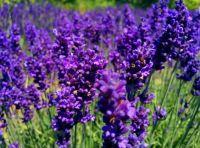 lavender 127